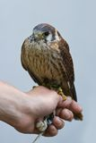Person holding kestrel bird Royalty Free Stock Photography
