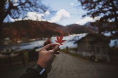 Person Holding Maple Leaf stock images