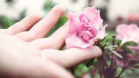 Person Holding Pink Flower Royalty Free Stock Photos