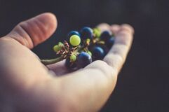 Person Holding Purple Grapes Royalty Free Stock Image