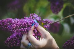 Person Holding Purple Hyacinth Flower royalty free stock photo
