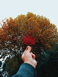 Person Holding Red Maple Leaf stock photos
