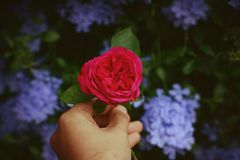 Person Holding Red Rose stock image