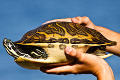 Person holding turtle. Hands of person holding turtle with blue sky background Stock Image