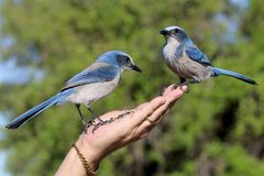 Person Holding Two Blue Blue Jay Birds Royalty Free Stock Photography