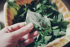 Person Holding Two Green Leaves Royalty Free Stock Images