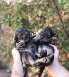 Person Holding Two Short-coated Black Puppies