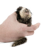 Person holding White-headed Marmoset. Person holding young White-headed Marmoset, Callithrix geoffroyi, 5 months old, in front of white background Stock Photo