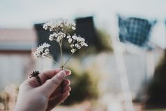 Person Holding White Petaled Flower Stock Images