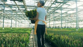 A person holds a bucket with yellow tulips while checking flowers in beds. stock footage