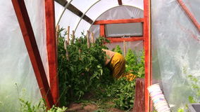 Person on knees care tomato plants in greenhouse hothouse Stock Images