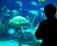 Person Looking aux poissons dans l'aquarium Photographie stock libre de droits