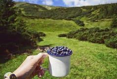 Person med koppblåbär, medan se på fältet av blåbär arkivbild
