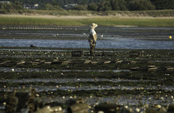 Person oyster fishing in Wellfleet Harbor, Wellfleet, Massachusetts Stock Photography