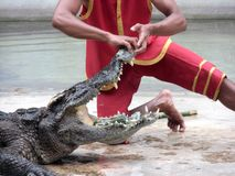 Person performing a stunt with alligator Royalty Free Stock Photos