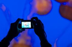 Person photographing jelly fish. With a digital camera Stock Image