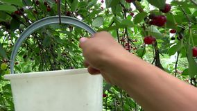 Person picking cherries from the tree stock video