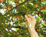 Person picking red mirabelle fruit. (plum fruit Royalty Free Stock Photo