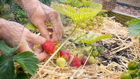 Person picking strawberries, home grown fruit and vegetable garden. Royalty Free Stock Image
