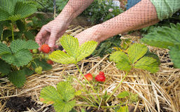 Person picking strawberries, home grown fruit and vegetable garden. Stock Image