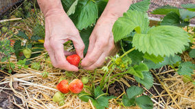 Person picking strawberries, home grown fruit and vegetable garden. Royalty Free Stock Photo