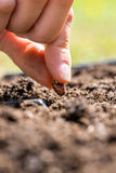 Person planting a seed in the ground. Close up of the fingers of a person planting a seed in the ground conceptual of spring and the season of germination and Stock Image