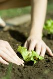 Person planting seedling Royalty Free Stock Images