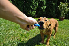 Person playing with a dog. Hand of a person playing with a dog in the garden Stock Photography
