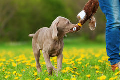 Person plays with her Weimaraner puppy Royalty Free Stock Images