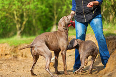 Person plays with two Weimaraner dogs Royalty Free Stock Image
