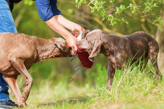 Person plays with two Weimaraner dogs. Picture of a person playing with two Weimaraner dogs Stock Image