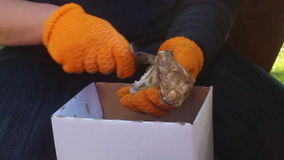 Person Prep Cleaning Oysters stock video footage