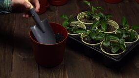 Person puts soil with a trowel into the big brown pot with drainage standing near tray with seedlings