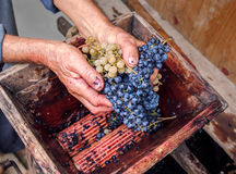Person putting grapes in manual grape crusher Stock Image