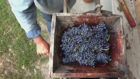 Person putting grapes in old manual press juicer grapes to produce wine stock video footage