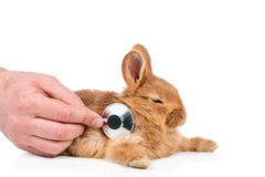Person putting stethoscope to rabbit. Hand of a person hearing the bunny with the stethoscope isolated on white Royalty Free Stock Photo