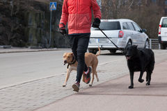 The person runs with two dogs Royalty Free Stock Photography