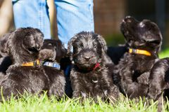 Person with a schnauzer puppy litter. Person stands on the lawn with a schnauzer puppy litter Stock Photo