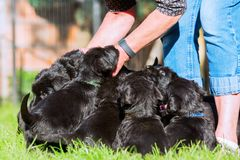 Person with a schnauzer puppy litter. Person stands on the lawn with a schnauzer puppy litter Stock Photos