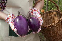 Person showing  eggplant Royalty Free Stock Photos