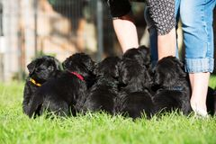 Person with a schnauzer puppy litter. Person stands on the lawn with a schnauzer puppy litter Royalty Free Stock Image