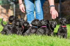Person with a schnauzer puppy litter. Person stands on the lawn with a schnauzer puppy litter Royalty Free Stock Photo