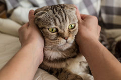 A person stroking hands surprised cat Scottish Fold. A person stroking hands and gently hugging surprised cat Scottish Fold Royalty Free Stock Photos