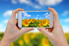Person is taking photo sunflower field Stock Photography