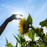 Person touching a sunflower Royalty Free Stock Image