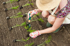 Person transplanting seedlings Stock Photo