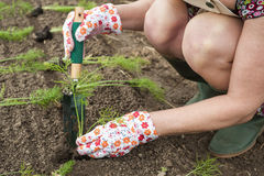 Person transplanting seedlings royalty free stock photo