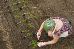 Person transplanting seedlings royalty free stock photos