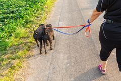 Person with two schnauzer dogs at the leash. Person walks with two schnauzer dogs at the leash on a country road Royalty Free Stock Photography