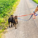 Person with two schnauzer dogs at the leash. Person walks with two schnauzer dogs at the leash on a country road Stock Images